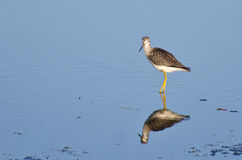 Lone Sandpiper in Shallow Water Stock Photos