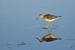 Lone Sandpiper in Shallow Water Stock Photo