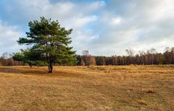 Lone scots pine in a Dutch nature reserve with dry and yellow gr royalty free stock image