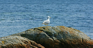Lone seagull Royalty Free Stock Photography