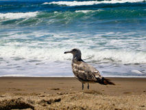Lone Seagull. A profile of a Seagull on the beach with the ocean in the background stock images