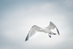 Lone seagull. Seagull flying in the cloudy sky Stock Photography