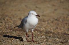 Lone Seagull Arkivbild