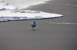 Lone Seagull Arkivfoton