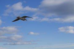 Lone Seagull Royaltyfri Foto