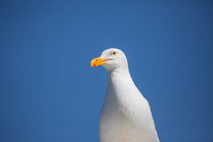 Lone Seagull Stock Photography