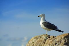 Lone seagull against sky. A lone seagull stands on a rock silhouetted against a mostly clear blue sky on Antelope Island in the Great Salt Lake near Syracuse Royalty Free Stock Photos