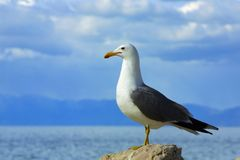 Lone seagull against sky and water. A lone seagull standing against a backdrop of sky, clouds, mountains, and water Stock Photography