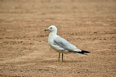 Lone Seagull on beach Royalty Free Stock Image