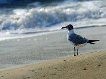 Lone seagull on the beach. A solitary seagull stands on the beach at sunrise while waves crash in the background, at the Outer Banks of North Carolina Royalty Free Stock Photography