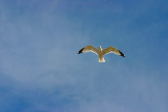 Lone seagull Royalty Free Stock Photo