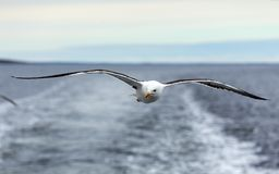 Lone seagull flies on the horizon above the sea. White Sea, Russia stock photography