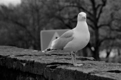A lone seagull on the fortress wall in Tallinn against the background of a road sign. royalty free stock image