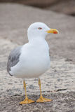 Lone seagull, front view, looking sidewards Royalty Free Stock Images