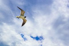 Lone seagull glides wings outspread against a bright cloudy sky with blue showing through Royalty Free Stock Photo