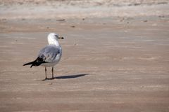 Lone Seagull with His Feet in the Sand stock photos