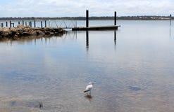 Lone Seagull i Peelöppningen västra Australien royaltyfria foton