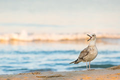 Lone seagull Larus michahellis cries standing on a sandy seashore Stock Photo