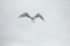 Lone Seagull. Seagull in midair against a cloudy sky background Stock Images