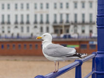 Lone seagull perched on the railing of Eastbourne Pier Royalty Free Stock Photos