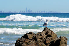 Lone seagull on a rock at Burleigh Heads Royalty Free Stock Images
