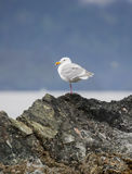 Lone seagull sitting on a rock Royalty Free Stock Images