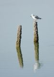 A lone seagull sitting on a wooden log Royalty Free Stock Photo
