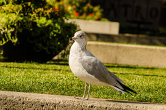 Lone seagull standing Stock Images