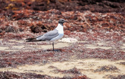 Lone Seagull. Standing on dead seaweed Stock Photography