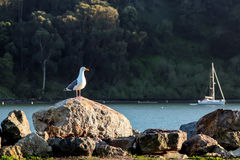 A lone seagull standing on a rock by the bay with a sailboat in the background at sunset. Stock Photos