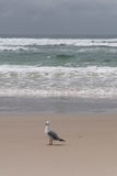 Lone Seagull Royalty Free Stock Image