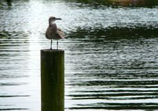 Lone seagull waiting on a pier. In Currituck, part of the Outer Banks of North Carolina Royalty Free Stock Photography
