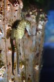 Lone Seahorse in Aquarium Stock Photography