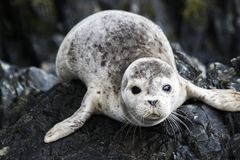 Lone Seal Pup stock photography