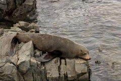 Lonely Sad Seal On Rocks royalty free stock photo