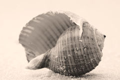 Lone seashell Stock Photography