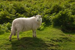 Lone Sheep Stock Image