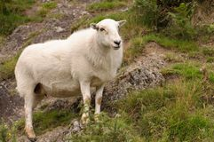 Lone Sheep Royalty Free Stock Photo