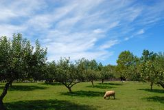 Lone Sheep. In an apple orchard against a blue sky Stock Photos