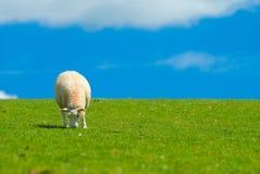 Lone Sheep. Single young sheep enjoying the lush summer grass in Shropshire, UK stock photography