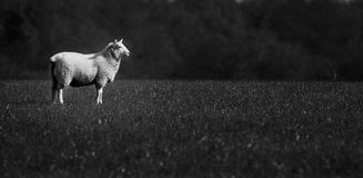 Lone Sheep. Black & White sheep alone in field Stock Photos