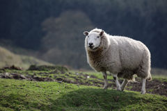 Lone Sheep Stock Photo