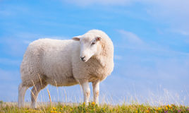 Lone Sheep against blue sky Stock Photography