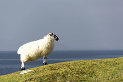 Lone sheep on cliff overlooking sea in west coast of Ireland. Side view of lone sheep overlooking the atlantic on the Beara Peninsula on the south west coast o0f royalty free stock photography