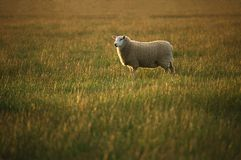 Lone sheep in evening light. stock photos