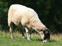 Lone sheep grazing Stock Photos
