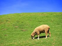 Lone Sheep Grazing in a Meadow Stock Image