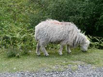 Lone sheep grazing by path Royalty Free Stock Image