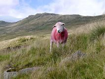 Lone sheep on hillside Stock Image