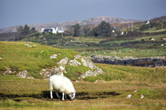 Lone sheep in Irish countryside with mountains and cottage. Lone sheep in meadow with foreground and background out of focus royalty free stock photography